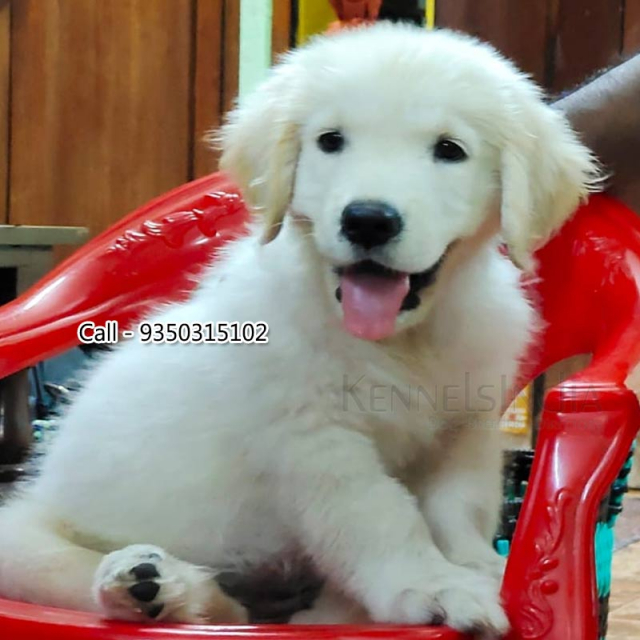 3 Months Old Healthy Golden Retriever Puppy Available Chennai