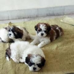 Shih Tzu Puppies for sale in Chandigarh