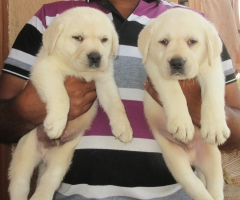 Top quality Labrador Retriever puppy for sale in Pune India