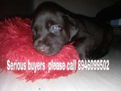Chocolate color Labrador Retriever Male Puppy for sale