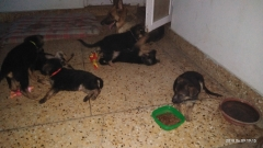 Top Quality German Shepherd puppies for sale in Lucknow