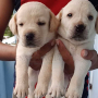 Labrador Puppies available in Chennai for sale