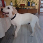 Male Lab Puppy Available for Sale in Hyderabad