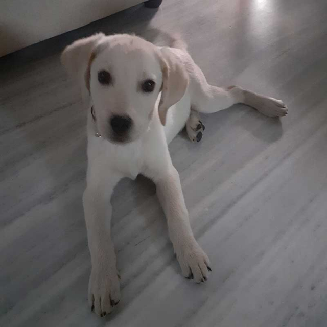 Male Lab Puppy for Sale in Hyderabad