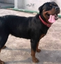 18 months old Adult Rottweiler dog for sale in Ghaziabad