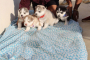 Champion Lineage Siberian husky puppies for sale in Bengaluru