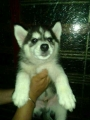 Import parentage Siberian Husky pups for sale in Mumbai