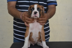Boxer Puppies in Delhi