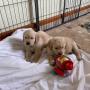 Calicut Golden Retriever Puppies