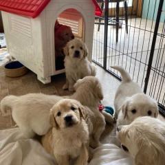 Golden Retriever Puppies in Calicut