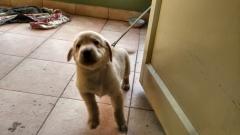 labrador male puppy Bengaluru