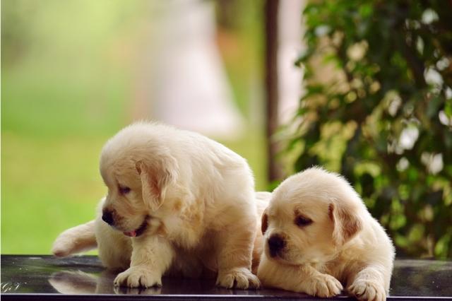 Champion Line Golden Retriever Puppies For Sale In Bengaluru