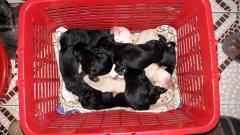 Black and white Labrador puppies