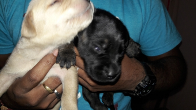 Black and white Labrador puppies