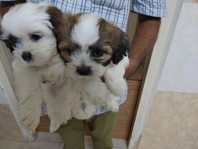Cute Pure Breed Shih Tzu Puppies available for sale in Chennai