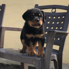 KCI Registered Rottweiler puppies available for sale Lucknow