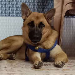 German Shepherd Female Dog for Sale Mumbai