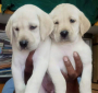 Pet Quality Labrador Puppies for sale in Hyderabad