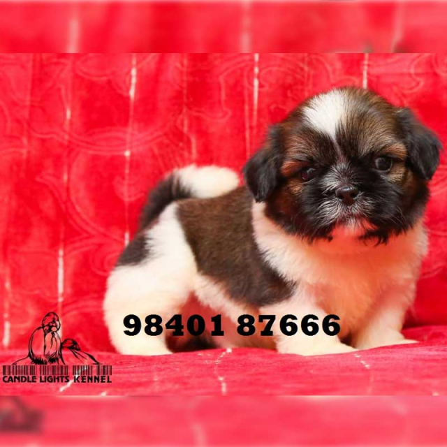 Shih Tzu Puppies for sale in Chennai Tamil Nadu