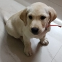 Cute pet quality Labrador Retriever available for sale Bengaluru