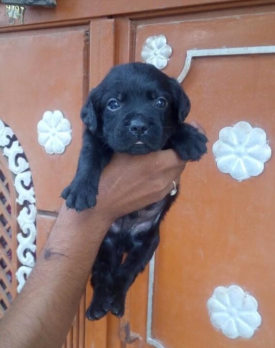 Labrador Puppy for sale