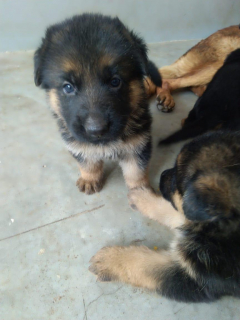 German Shepherd puppies for sale in Lucknow Uttar Pradesh