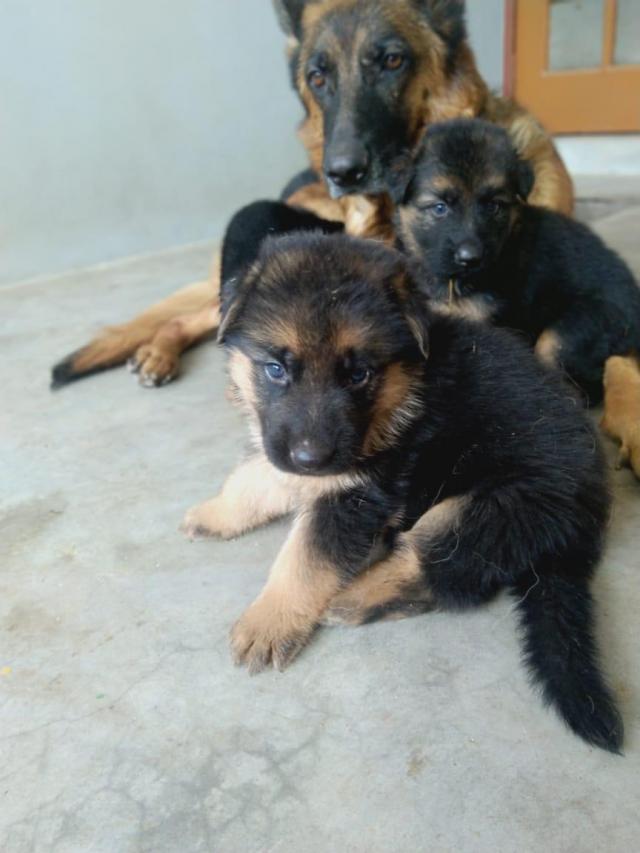 German Shepherd puppies for sale in Lucknow Uttar Pradesh