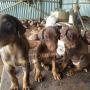 Doberman puppies Tirupur
