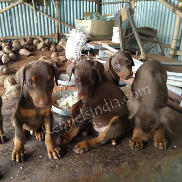 Doberman Dog Breeders