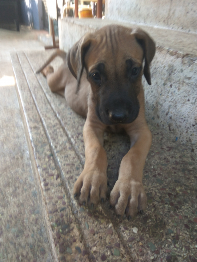 Great Dane puppies for sale in Thrissur Kerala