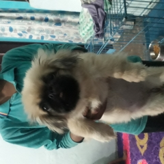 Show quality Pekingese puppies available in Delhi