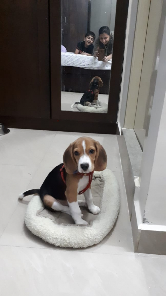 4 months old fully vaccinated beagle for sale in Chennai