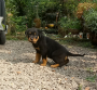 champion lineage Rottweiler Puppies Available For Sale In Calicut
