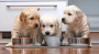 Perfect show quality Golden Retriever puppies available