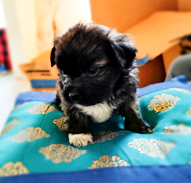 Adorable Lhasa Apso Puppies for sale Only 2 females left