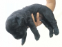 Black Labrador Retriever Puppy available for sale in North Goa