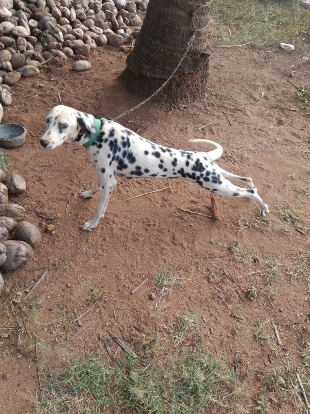 Dalmation Female dog for sale in Pollachi Coimbatore