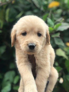 Golden Retriever puppy 45 days old for sale in Bengaluru