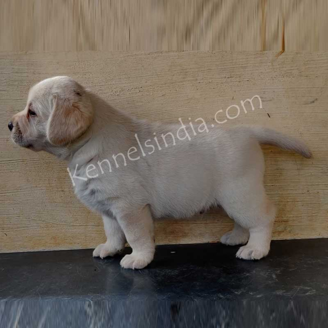 Show Quality Male and Female Labrador Puppies in Bengaluru