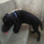 Black Labrador Retriever Puppy Available for Sale in Thoothukkudi