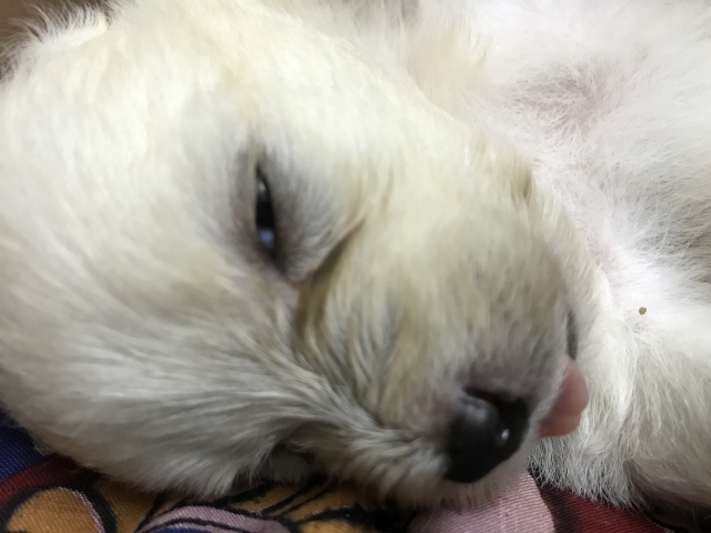 Lhasa puppy for sale