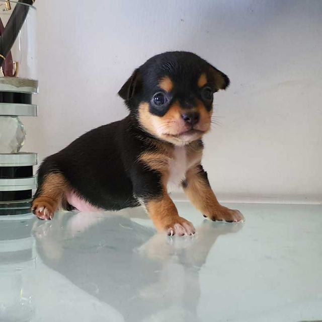 Chihuahua Puppies In India
