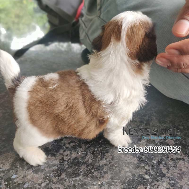 Shih Tzu puppies for sale in Palakkad, Kerala