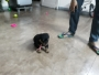 Cute 1 month Rottweiler puppy for sale in Yamunanagar