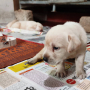 Pet Quality Labrador Retriever Puppies for Sale in Hyderabad