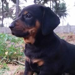 Dachshund Sausage Dog puppies for sale in Bengaluru Karnataka