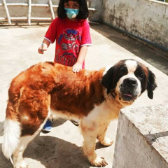 Saint Bernard Female 2 years old dog for sale Bengaluru