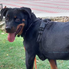 7 Months Old Female Rottweiler puppy available for Sale Hyderabad