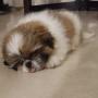 Pure breed Male shih Tzu Puppy available for sale in Delhi