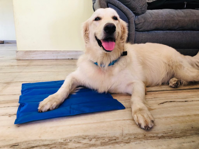 3 year old Male Golden Retriever for sale in Cochin Kerala